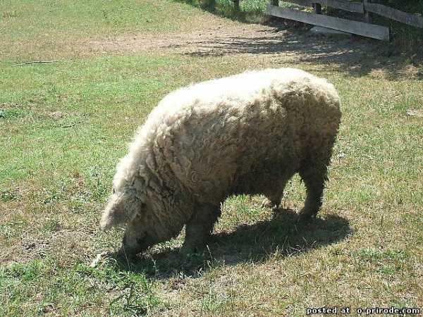 Описание и характеристика породы свиней венгерская мангалица