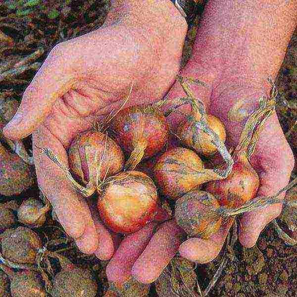 Орех северный пекан выращивание в подмосковье