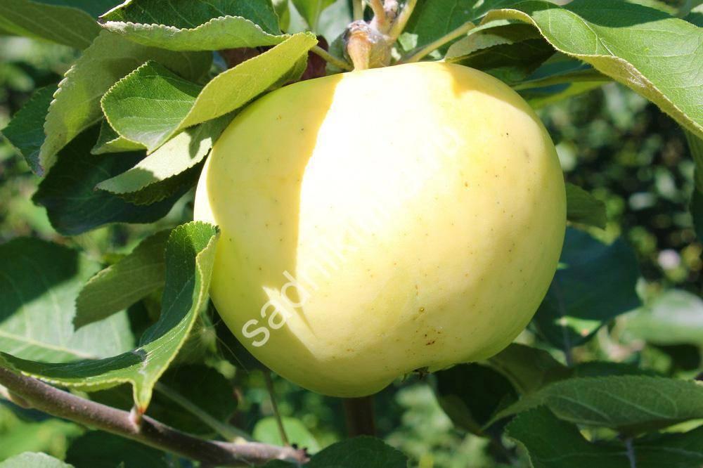 Характеристика и особенности яблони сорта «белый налив»