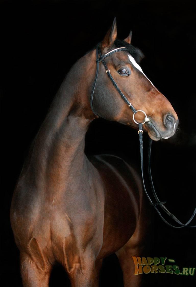 Ганноверская порода лошадей: истоки, описание, рекорды