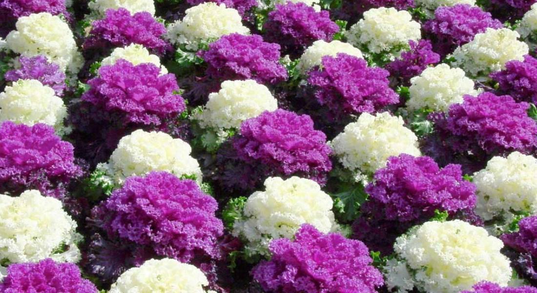 Декоративная капуста: посадка, уход и выращивание (с фото)