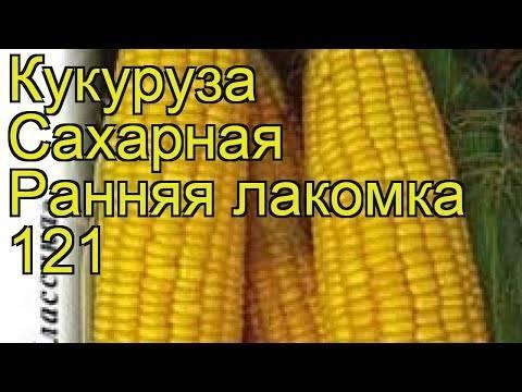 Кукуруза лакомка 121: описание, посадка и уход