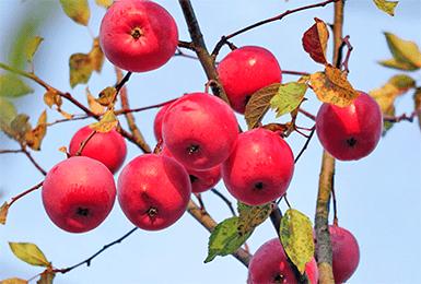 Сорт вишни норд стар