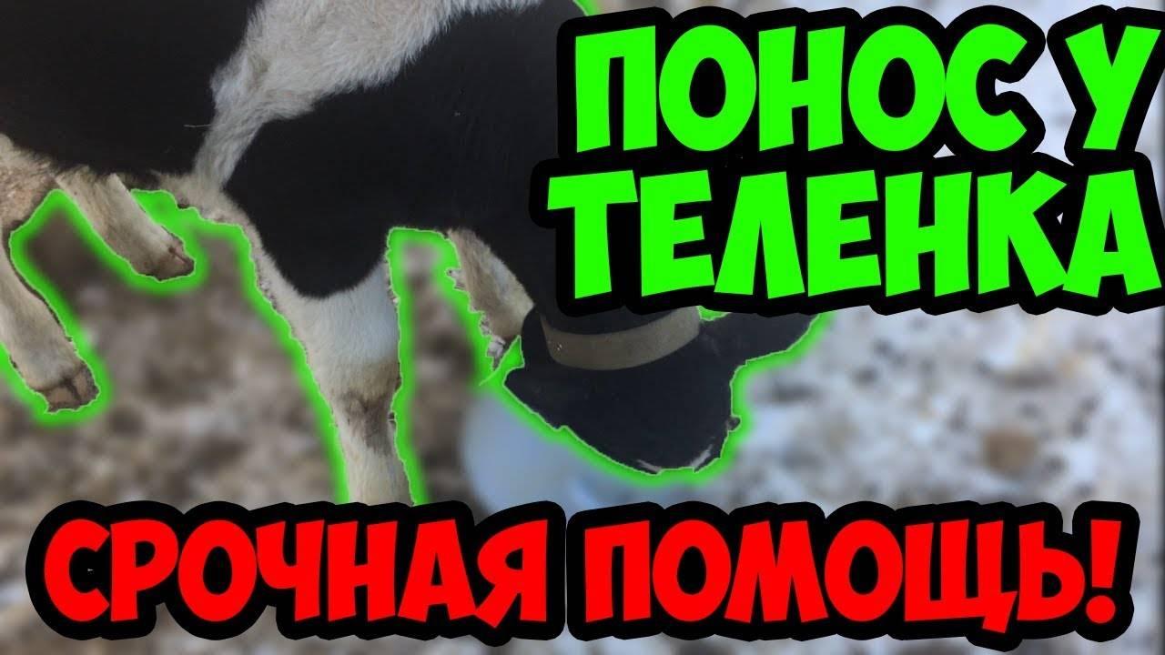 Понос у коровы причины