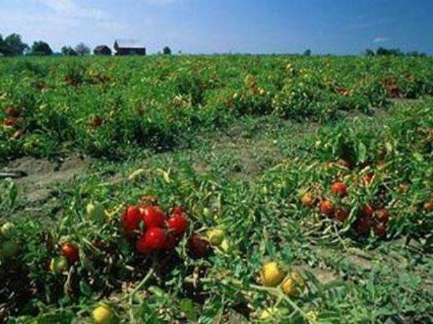 Редкий томат сорта монгольский карлик: где найти семена и как получить богатый урожай