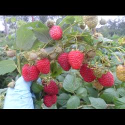 Малина «химбо топ»: характеристика, агротехника выращивания
