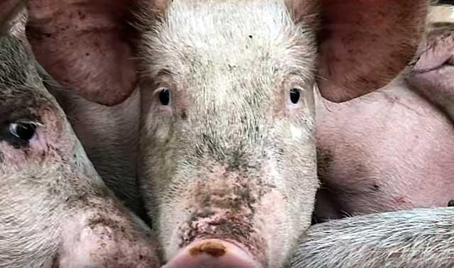 Рассматриваем строение туши свиньи