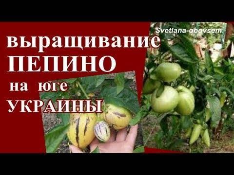 Пепино — что это за растение? как вырастить дынную грушу в домашних условиях?
