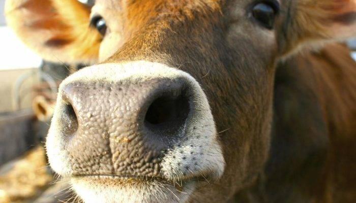Выкидыш у коровы причины