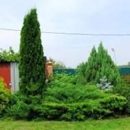 Можжевельник минт джулеп — новая нотка в дизайне сада