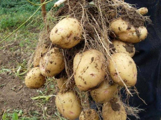 Преимущества картофеля аврора: описание сорта, отзывы