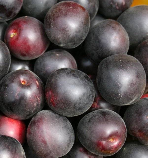 Описание чёрных сортов абрикосов: чёрный принц, чёрный бархат, мелитопольский чёрный, мышонок и другие + отзывы