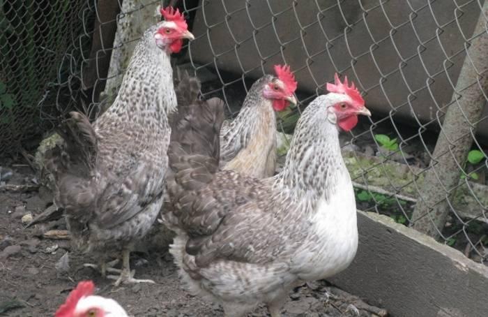 Описание и выращивание кур породы борковская барвистая