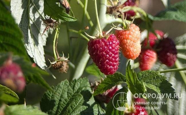 Малина «маросейка»: характеристики, агротехника выращивания
