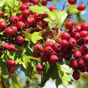Боярышник - старое лечебное средство