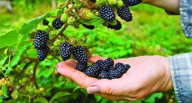 Сорт киова: крупноплодная ягода из американских лесов