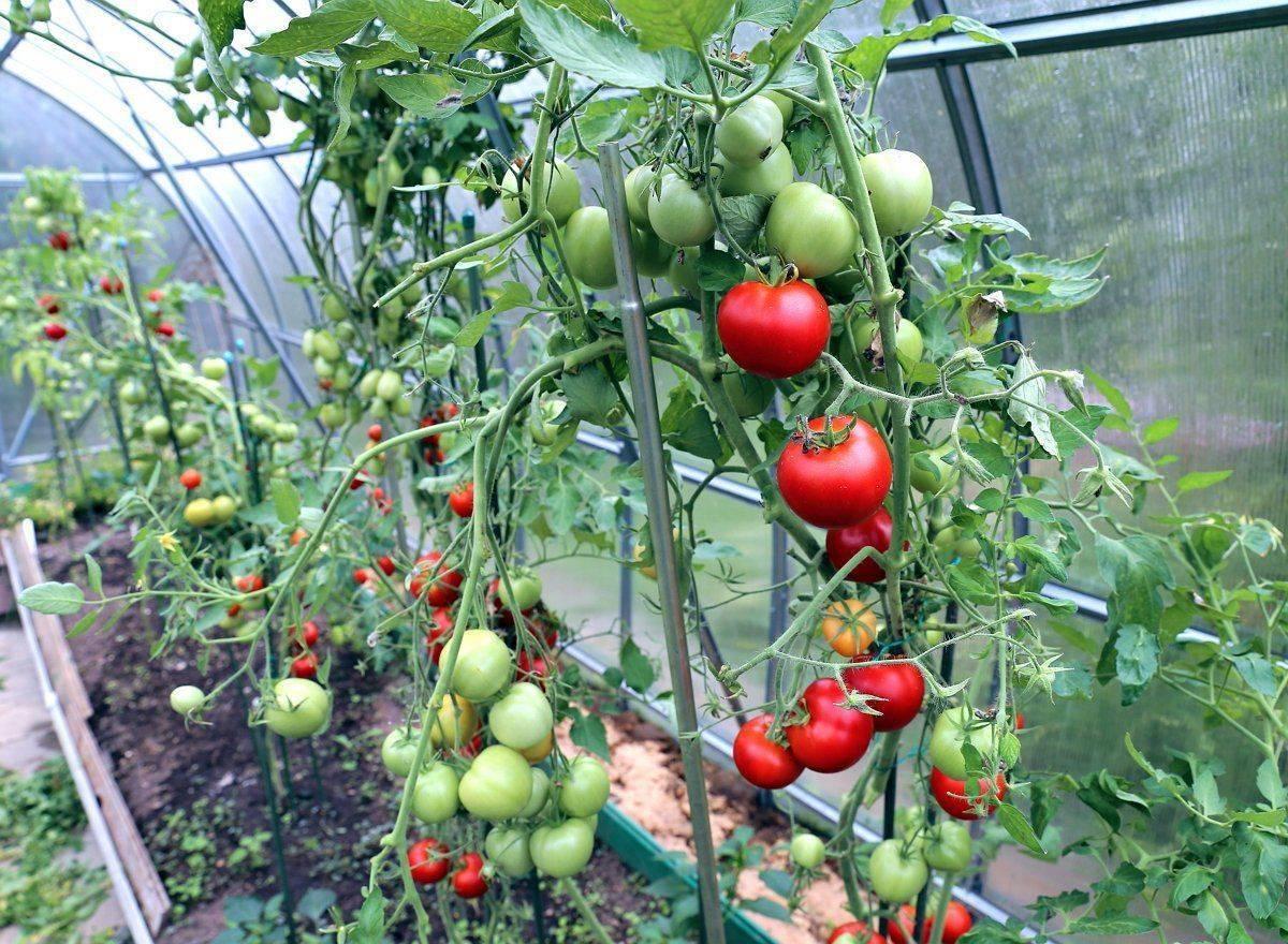 Скоро осень, а помидоры не созрели: как быть?