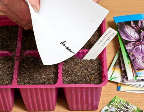 Базилик, выращивание из семян, особенности посадки, ухода