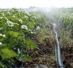 Когда и как поливают вишневые деревья?