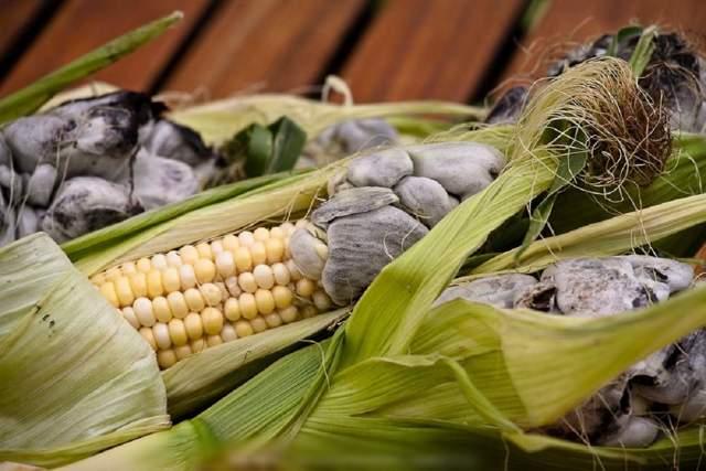 Болезни и вредители кукурузы, меры лечения