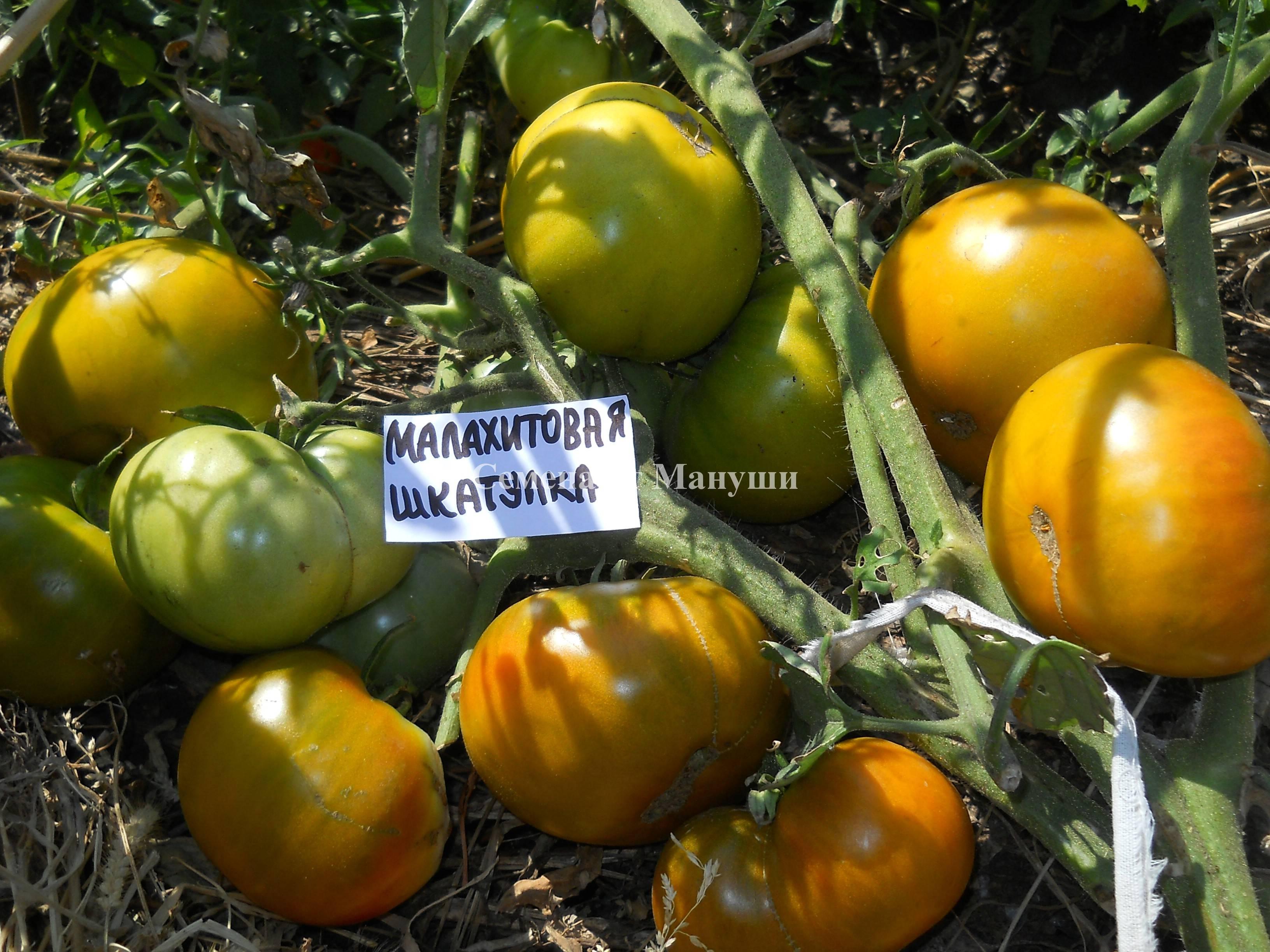 Характеристика и описание сорта томата малахитовая шкатулка, его урожайность