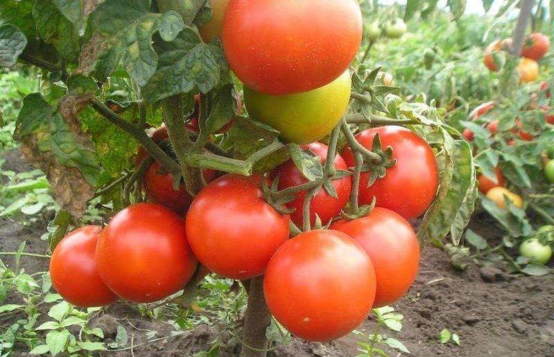 Томат холодоустойчивый крайний север — урожайность, описание, агротехника и отзывы