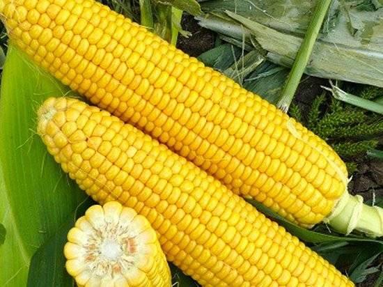Как вырастить кукурузу? пошаговые инструкции
