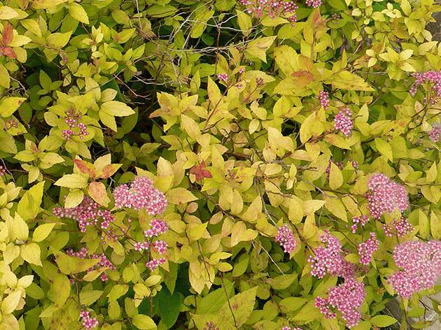 Особенности выращивания спиреи японской: посадка, уход и правила размножения