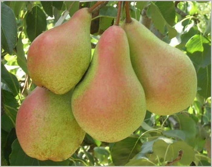 Яблони и груши: чем и как подкормить плодовые деревья весной