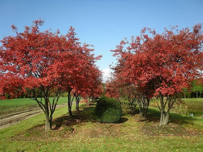 Растение ирга: посадка и уход, фото, размножение, полезные свойства и противопоказания