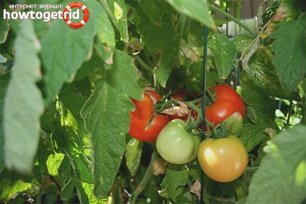 Характеристика и описание сорта томата белла роса, урожайность