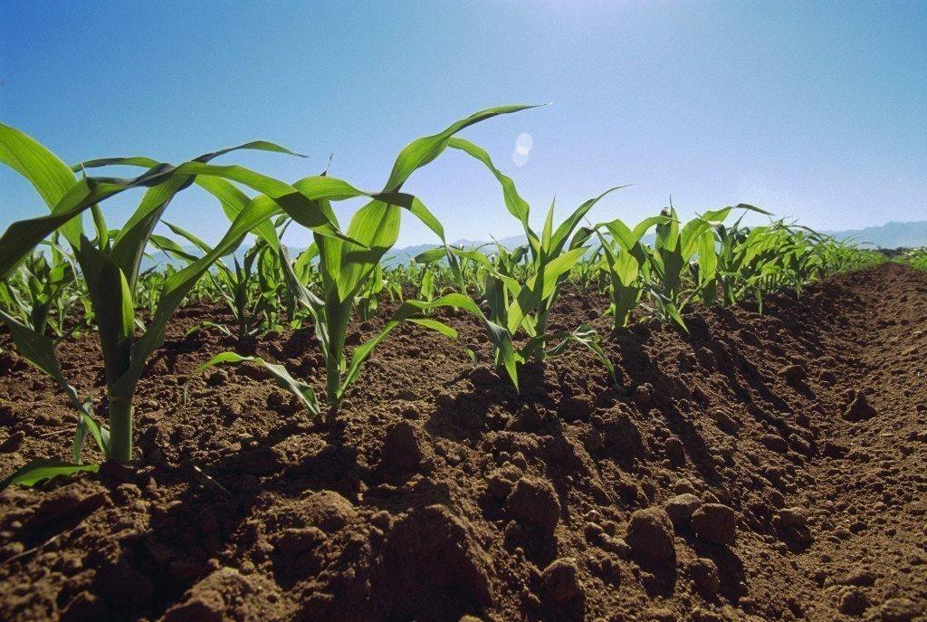 Что такое гербициды для обработки кукурузы, их виды и применение