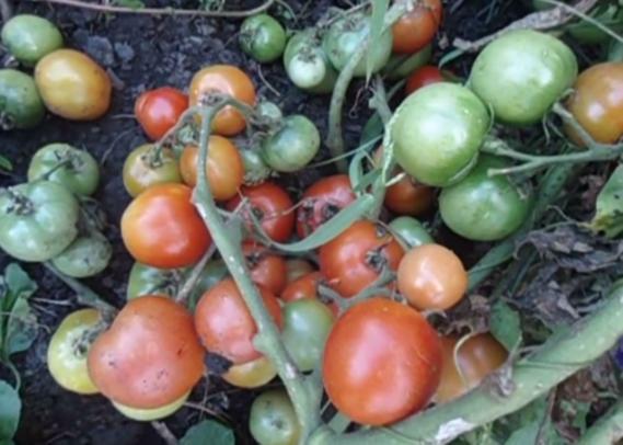 """Томат """"ультраскороспелый"""" f1: характеристика и описание раннеспелого парникового вида помидор, выращивание и фото плодов"""
