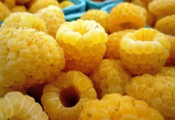 Жёлтый гигант – невероятно сладкий, крупноплодный сорт малины