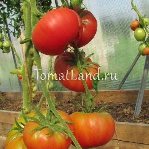 Гарантированные урожаи сочных и вкусных плодов — томат розе f1: отзывы об урожайности, описание сорта и характеристики