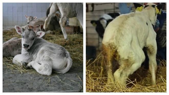 Понос у коровы: лечение в домашних условиях, видео - ты-фермер