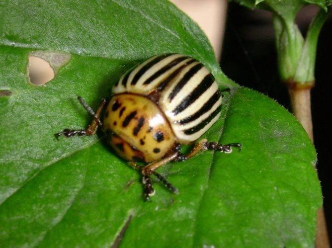 Отрава от колорадского жука Жукоед: отзывы