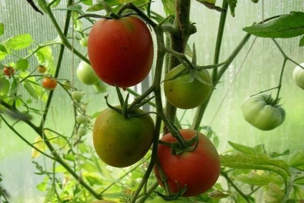 Томат сызранская пипочка: характеристика и описание сорта, урожайность с фото