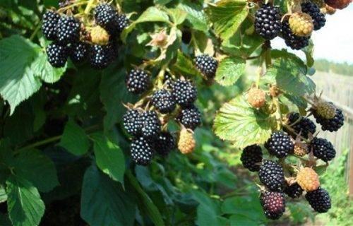 Ежевика в сибири: разновидности сортов, специфика агротехники