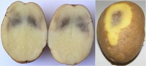 Почему картошка чернеет после варки или при хранении?