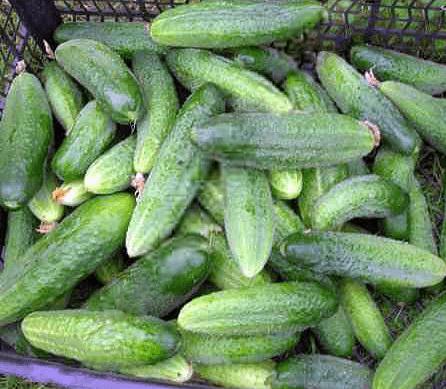 Огурцы либелла: описание сорта и характеристики, выращивание и уход, отзывы с фото