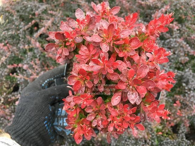 Барбарис Тунберга Лютин Руж (Berberis thunbergii Lutin Rouge)