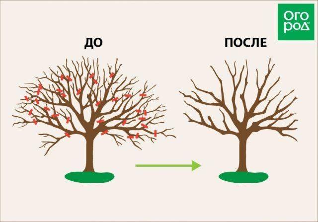 Как правильно обрезать яблоню весной, чтобы не удалить плодовые ветки