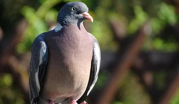Как живёт голубь вяхирь?