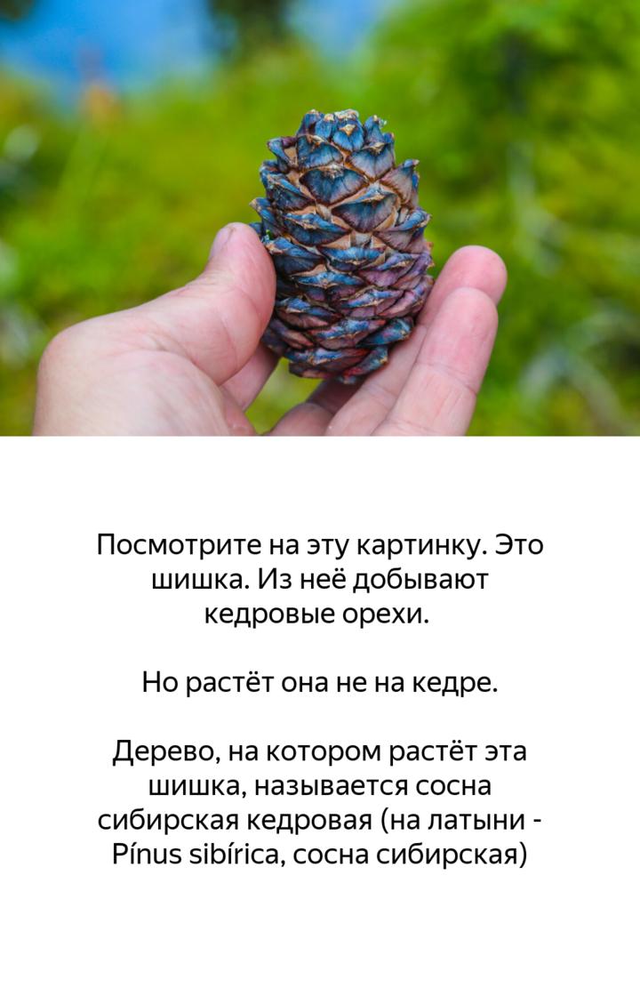 Кедровый орех где растет в мире. где и на каком дереве растут кедровые орехи