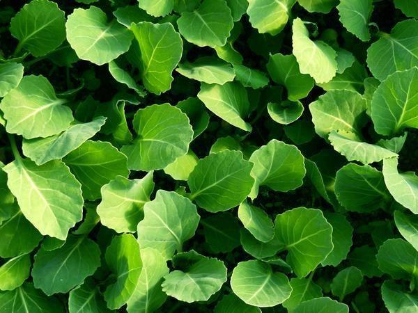 Особенности выращивания и ухода за капустой июньская
