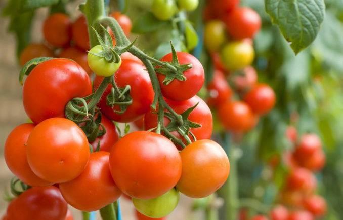 Индетерминантные томаты: характерные особенности, распространённые сорта, нюансы выращивания