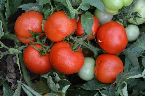 Томат толстушка: характеристика и описание сорта, фото, отзывы, урожайность