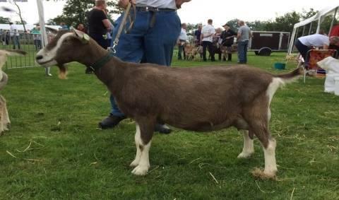 Лучшие породы коз с описанием и фото: молочные, мясные, пуховые и шерстяные