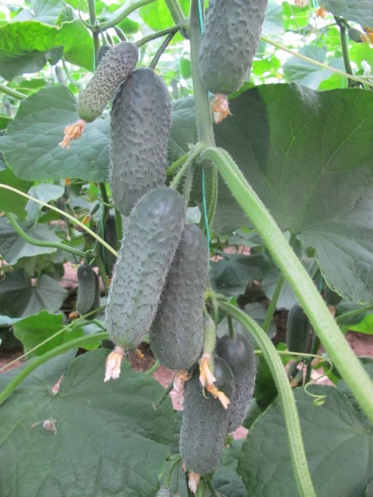 Огурец директор f1: характеристика, достоинства, технология выращивания, уход, семена, отзывы